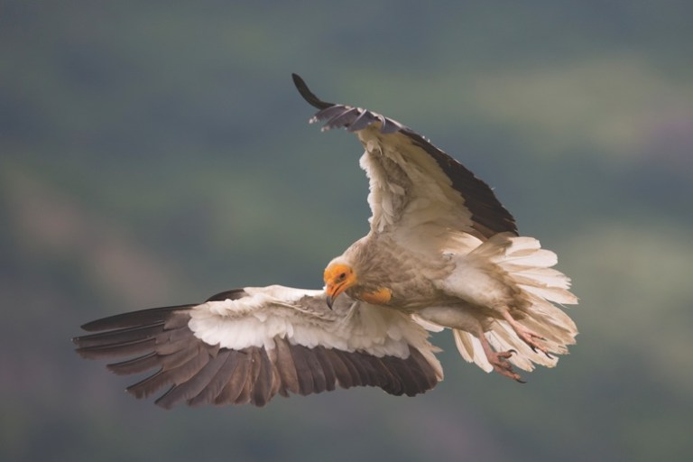 Egyptian Vulture New LIFE