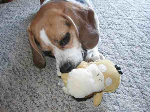 Brown and White Beagle Dog