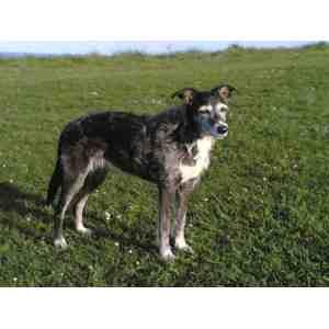 Enamour My Wolf Hybrid Pup Ghost Imgur Greyhound Pitbull Mix