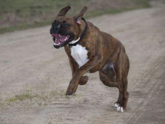 Pitbull azzanna una donnaferite al braccio e alla mano, peggio il suo cagnolino