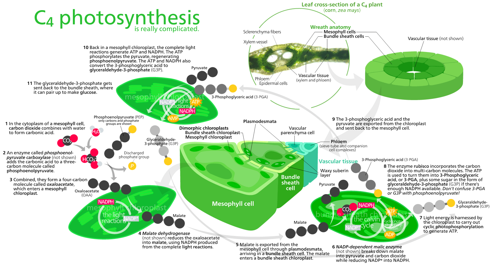 diagram with inputs and outputs of photosynthesis process bazooka el8a wiring is the by which plants certain