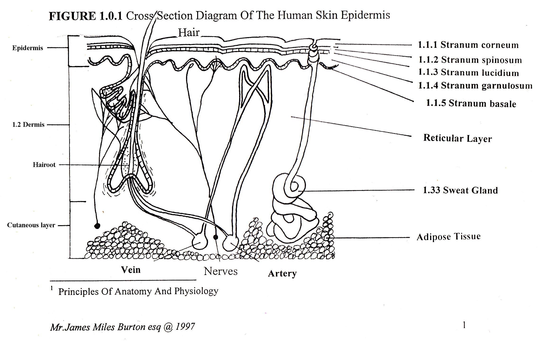cross section diagram copulation human