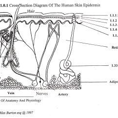 Skin Cross Section Diagram 2 Light Switch Wiring Way Intergumenary
