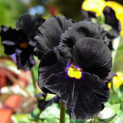 A roundup of seeds for dark gardening.
