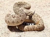Please do not mistake this rattler for a snugly pet