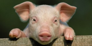 The Pig War – An Odd Conflict in American History