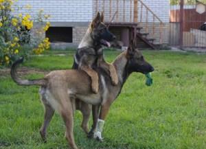 Щенок немецкой овчарки Лютый (4 мес.) с малинуа Дартом (1 год)