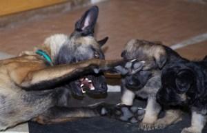 Малинуа Китти играет со щенками немецкой овчарки