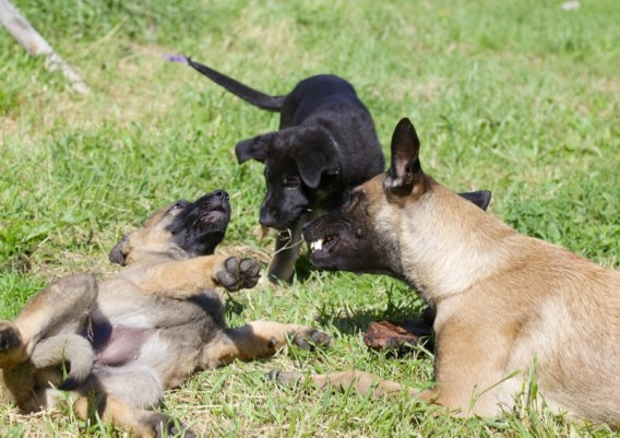 Kitty and GSD pups