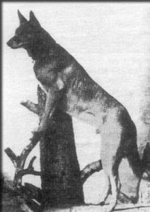 Vos des Polders (р. 1897 г.)
