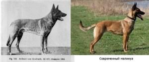 Старотипная немецкая овчарка и современный малинуа