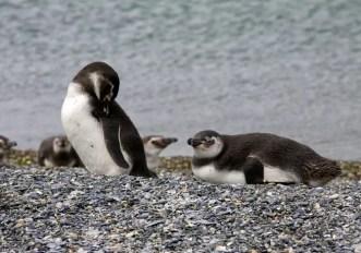Faccia a faccia con i pinguini della Terra del Fuoco