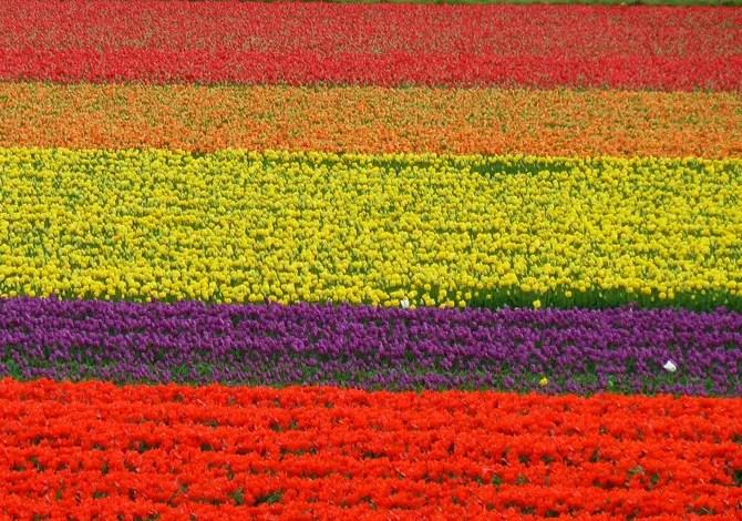 Bollenstreek Olanda Tulipani