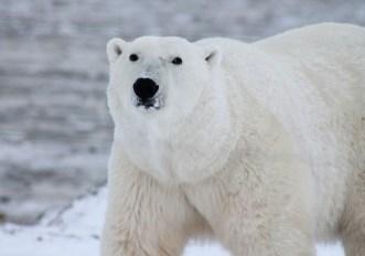 gli orsi polari rischiano di scomparire