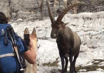 Il video dello stambecco spaventato e del turista con cane al guinzaglio