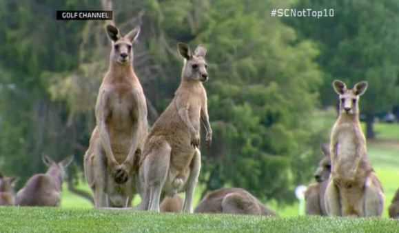 kangaroo-delay-australian-open