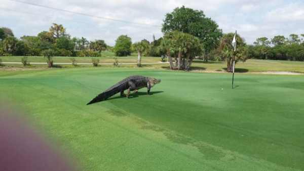 alligator-florida-golf-course-3