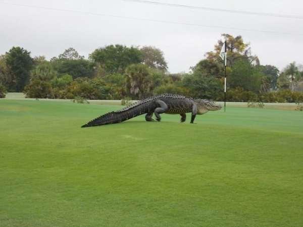 alligator-florida-golf-course