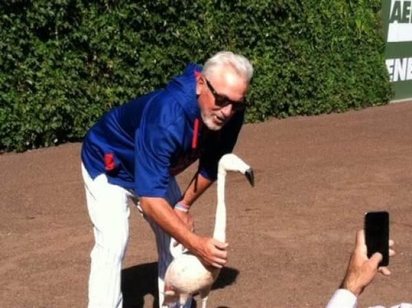 joe-maddon-flamingo