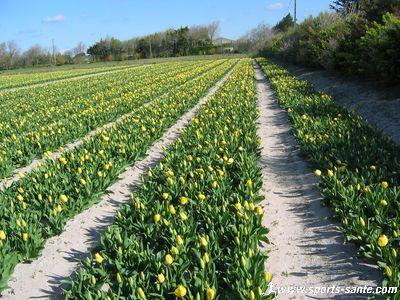 Photo growing tulips