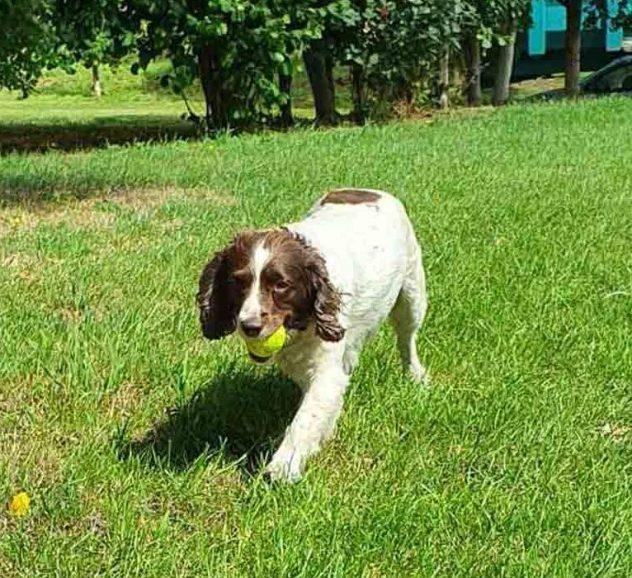 Mitzi Testing The New Big Game Hunters Dog Tennis Balls