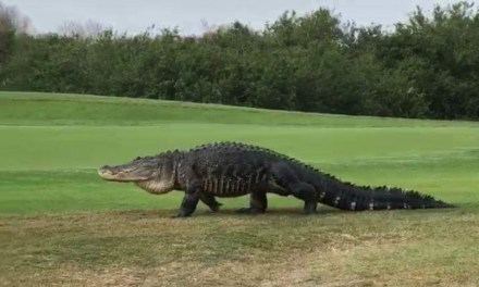 Giant Alligator Spotted On Florida Golf Course