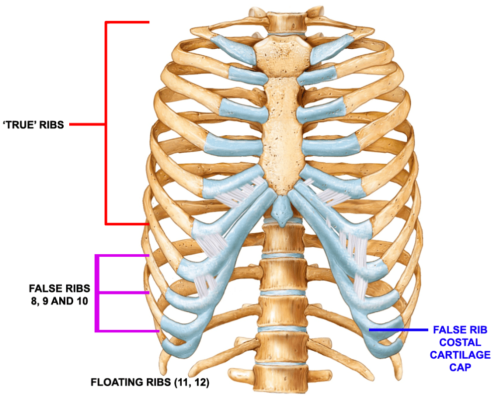 medium resolution of figure 2 rib structure and false rib costal cartilages