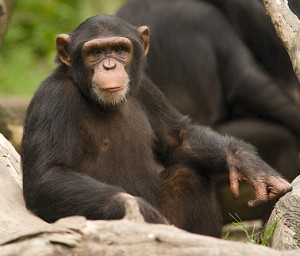 Lion Attack Mirrors Previous Waiver Case Chimp