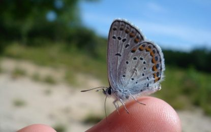 Karner blue butterfly continues to thrive at Albany Pine Bush