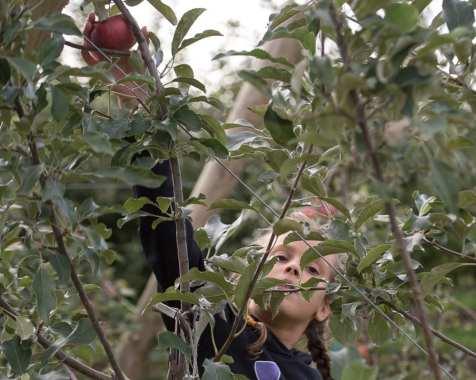 apples web-4843