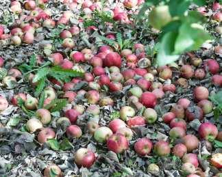 apples web-6458