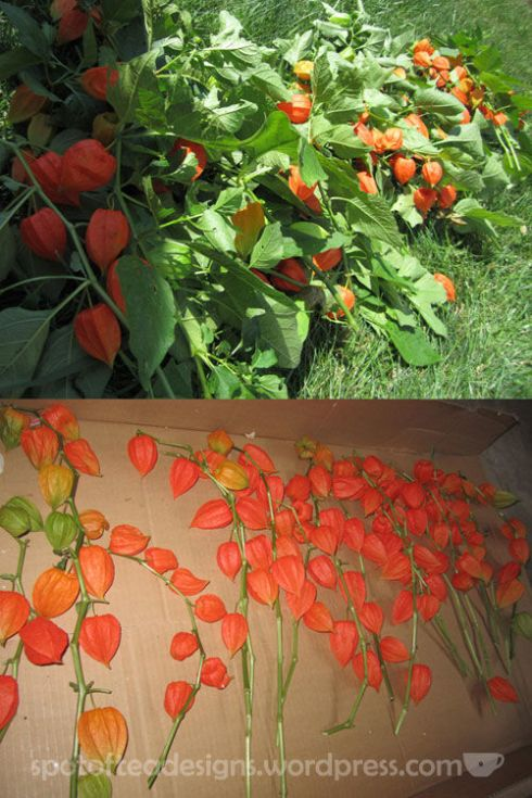 drying chinese lanterns