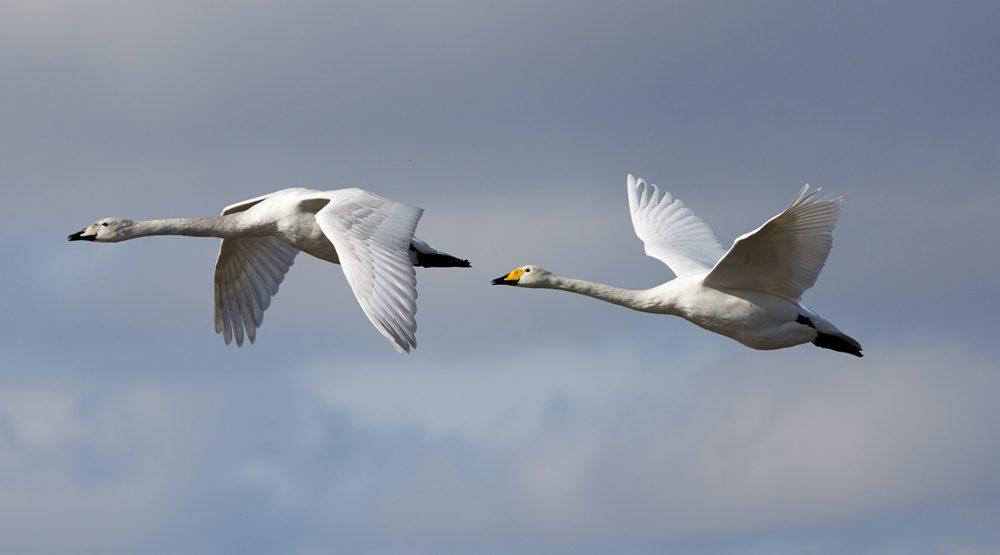 Winter Swans Begin their Migrations