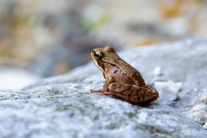 Une grenouille sur un rocher, qui semble pensive...