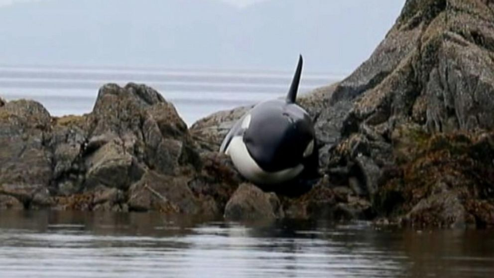 Beached Orca whale aided by volunteers, freed when high tide came