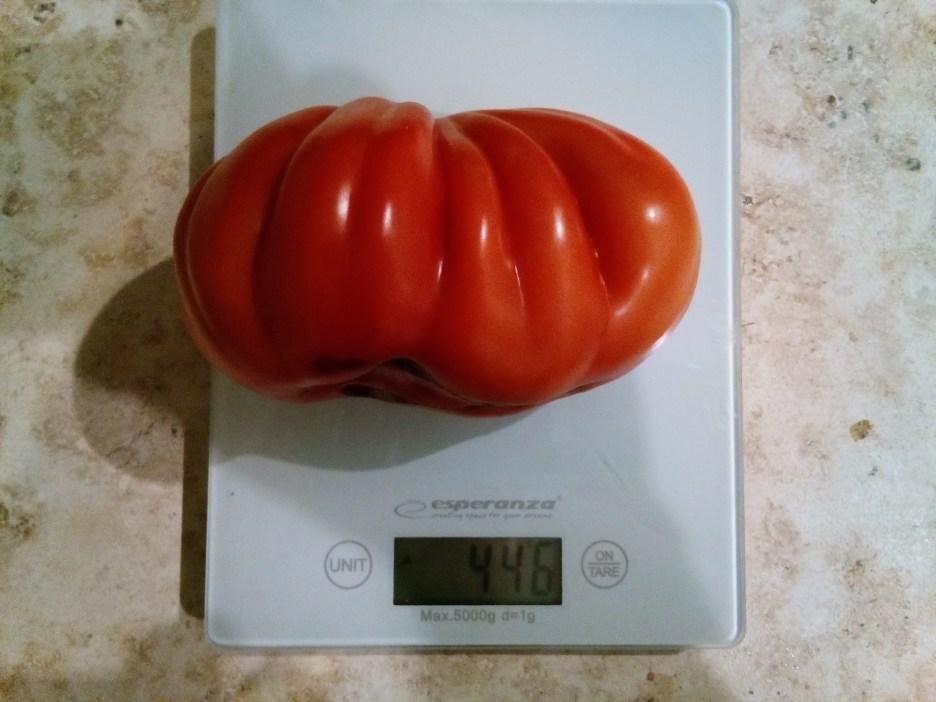 Pomidor Bawole Serce, prawie 0,5 kg.