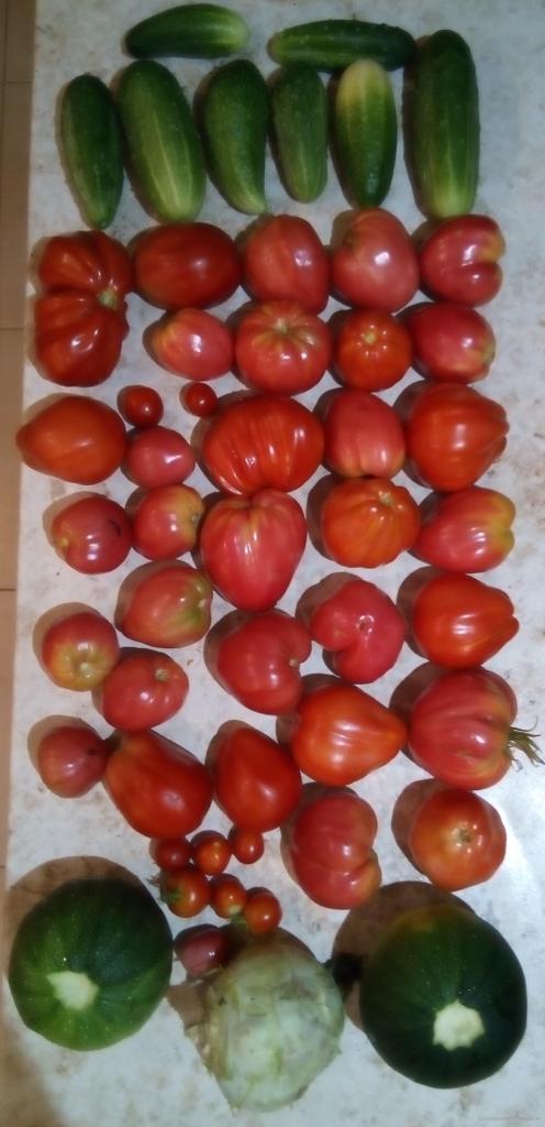 Zbiór pomidorów i innych warzyw 12.08.2019