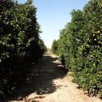 Hurricane Matthew: Florida Citrus Industry Is Relieved