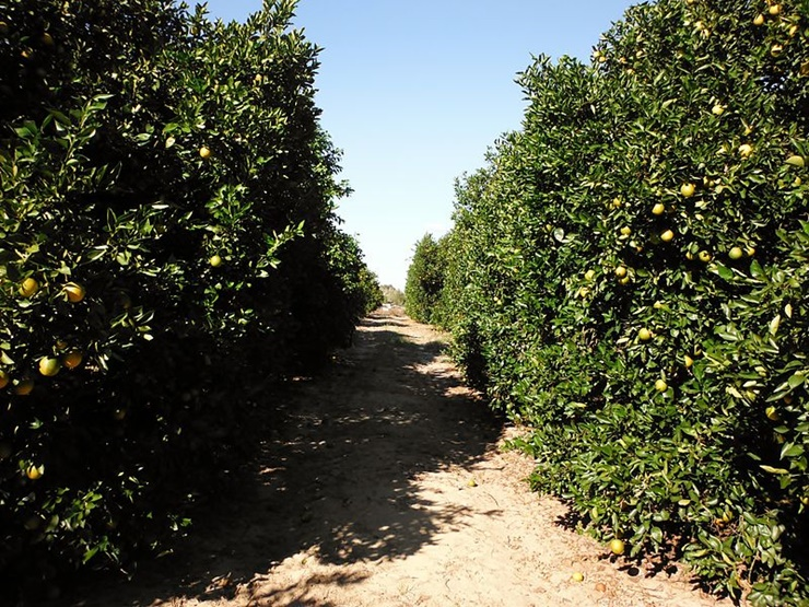 hurricane-matthew-florida-citrus-industry-saved