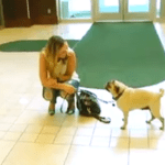 Jaxon The Dog: Hometown Hero Award Goes To Pug For Saving Home