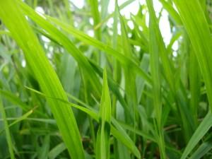 Das Gras wachsen hören - © kahanaboy, morguefile.com
