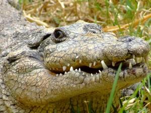 Krokodilstränen weinen - © Nesstor4u2, morguefile.com