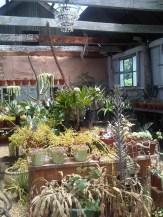 Saint Verde Succulent