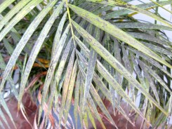 sooty palm
