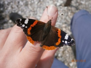 red admiral butterfly in hand