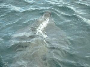 Basking shark off Canna
