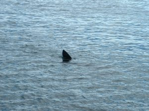 Very distinctive dorsal fin