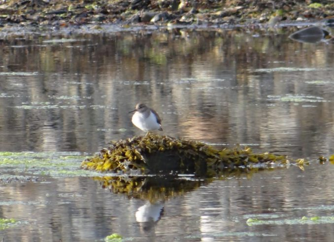 Common Sandpiper on the seashore