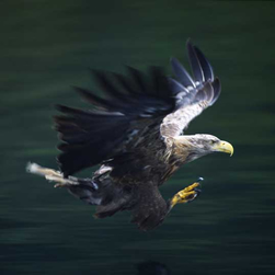 White-tailed eagle by MV Brigadoon.