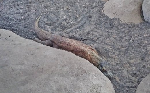 reptile garden komodo dragon